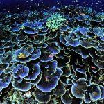 Montipora Coral Care