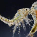 how to grow copepods