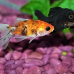 Why Is My Goldfish Turning Black