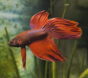 betta fish stopped eating