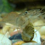 do ghost shrimp eat algae