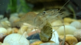 Do Ghost Shrimp Eat Algae