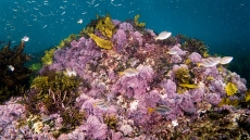 How to Get Rid of Cyanobacteria in a Reef Tank