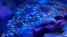 Acan (Acanthastrea) Coral Care