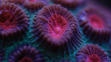 Chalice Coral Care