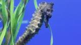 Dwarf Seahorse Care