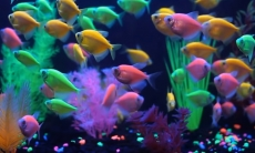 How to tell if a Glofish is Pregnant