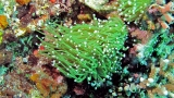 Torch (Caulastrea) Coral Care